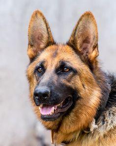 Beautiful German Shepard Portrait