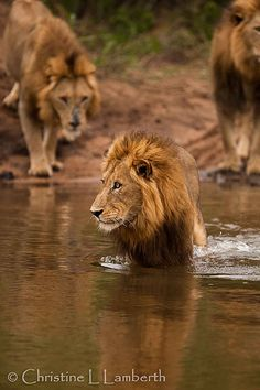 History most brutal killers, the Majingilane Male Lions Lion And Lioness, Lion Of Judah, Beautiful Lion, Animals Beautiful, Lion Story, Lions Photos, Big Cats Art, Carnivore, Male Lion
