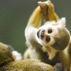 Squirrel monkeys are New World monkeys of the genus Saimiri, living in the tropical forests of Central and South America. Primates, Cute Baby Animals, Animals And Pets, Funny Animals, Wild Animals, Tropical Animals, Exotic Animals, Baby Squirrel, Pet Monkey