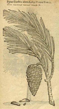 Pinus sylvestris L. [as Pinus sylvestris altera] / Lobel, M. de, Plantarum seu stirpium icones, vol.2: p.227, fig.1 (1581)