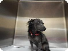 Pikeville, KY - Terrier (Unknown Type, Medium)/Chihuahua Mix. Meet Kelsey ---- needs help a Dog for Adoption.