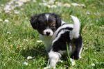 Phalene puppy
