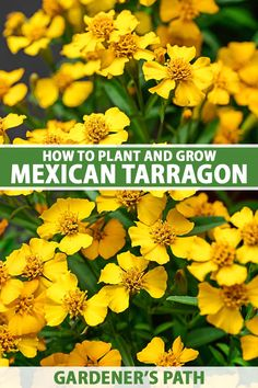 Mexican tarragon is a multi-purpose herb that works as both an ornamental and a tasty ingredient for your kitchen toolkit. Plus it can keep bugs away, attracts beneficial insects, and has a long history of medicinal uses. And it's not fussy about soil. Learn more now on Gardener's Path. #mexicantarragon #gardenerspath Growing Herbs At Home, Growing Plants Indoors, Herbs Indoors, Growing Flowers, Planting Flowers, Flower Gardening, Gardening For Beginners, Gardening Tips, Herb Garden In Kitchen