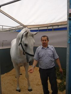 Grooms work with their own Stallions so they form a close bond and understanding. The Stallions are skipped out every hour to keep beds clean and reduce stable stains Revelation 19 11, Lipizzan, Spanish Riding School, Pegasus, Four Legged, Grooms, Stables, Behind The Scenes, Beds
