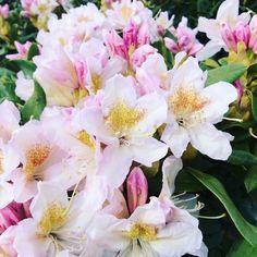 Rhododendron Cunninghams Blush Blush, Plants, Shrubs, Rouge, Blushes, Planters, Plant, Planting