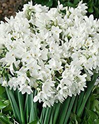 Paperwhites are easy to force indoors during the winter when a fragrant bloom is a welcome addition to any room. Paperwhites make an elegant, frugal gift.