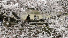 Japan's famous cherry blossoms have reached full bloom in Tokyo as spring-like weather descends on the nation's capital ❤️‼️ Shinjuku Gyoen, Cherry Tree, Beautiful Flowers, Tokyo, Bloom, Cherry Blossoms, Spring, City Photo, Weather