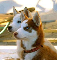 #husky #dog #wolf