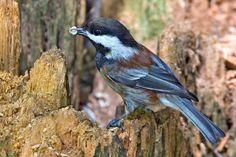 Chestnut-backed Chickadee, Poecile rufescens