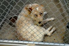 """12/27/13 ((SUPER URGENT -**DUE OUT IN 24 HRS**))  """"NATE""""  CAGE #54 - White/Red Heeler mix; Male 2 Yrs old  IMPOUND 12/16/13 