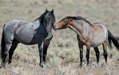Two wild mustang studs. Black roan on left, bay roan on right. Horses And Dogs, Cute Horses, Horse Love, Wild Horses, Black Horses, All The Pretty Horses, Beautiful Horses, Animals Beautiful, Friesian Horse