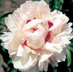 Klehm's Song Sparrow Farm and Nursery--Peonies/Paeonia--'Candy Heart'