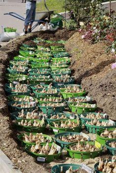 companion planting chart, solar robot kit for kids, free e… – Best Garden Plants And Planting Garden Bulbs, Planting Bulbs, Tulips Garden, Flower Gardening, Como Plantar Pitaya, Companion Planting Chart, Companion Gardening, Landscape Design, Garden Design