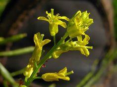 Peltokanankaali, Barbarea vulgaris - Kukkakasvit - LuontoPortti Forest Flowers, Wild Flowers, Finland, Natural Beauty, Flora, Scenery, Nature, Plants, Life