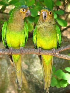 Laberinto Tropical Parrots.