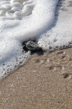 Sea turtle hatchling - first entry into the ocean. Vero Beach Florida.