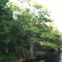 Big Florida Cypress