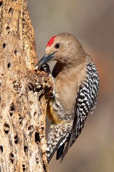 Bird - Male Gila Woodpecker - We have a couple of these awesome birds that visit our backyard daily and love the peanut butter suet...and oranges!