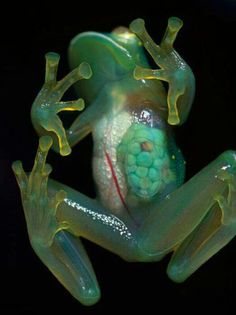 Glass Frog, Amazon Rainforest. This week is I Love Amazon week (21st to 27th October) - join in the celebration and pledge to help keep the Amazon standing at rainforestrescue.sky.com