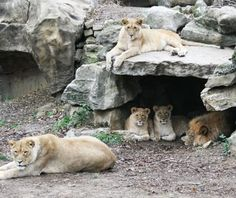 Mtai and Serafina, Lions, Saint Louis Zoo - Cutest Baby Animals at U.S. Zoos | Travel + Leisure