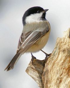 """Catharines favorite kind of bird, she really loved chickadees, that's why Sebastian called her """"little bird"""" Mais Small Birds, Colorful Birds, Little Birds, Pretty Birds, Beautiful Birds, Animals Beautiful, Black Capped Chickadee, Tier Fotos, Backyard Birds"""