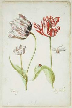 Two Tulips with Insects, Jacob Marrel, 1624 - 1681 - Rijksmuseum Illustration Botanique, Botanical Illustration, Tulip Drawing, Book Flowers, Dutch Golden Age, Medieval Art, Botanical Prints, Art Reproductions, Famous Artists