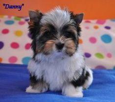Available Puppies | Biewer Puppies for Sale | Biewer Yorkshire Terrier Breeder #yorkshireterrier