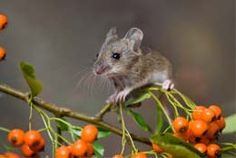 Wood mouse....squeeeee!!
