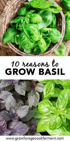 Basil is a common herb that is most often used in the kitchen, but it is also good for the garden and has amazing health benefits! Learn about 10 reasons to grow basil and the benefits of basil. #basil #herbalism