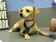 Moreno Valley, CA - Chihuahua Mix. Meet URGENT-6/22, a dog for adoption. http://www.adoptapet.com/pet/10970376-moreno-valley-california-chihuahua-mix