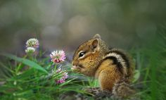 "naturesamazingpaintbox: "" Baby Chipmunk by Irene """