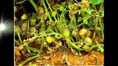 Principais doenças do tomateiro_LICA