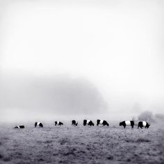 Fine art black and white photography print of Belted Galloway cows in Camden, Maine by Allison Trentelman.