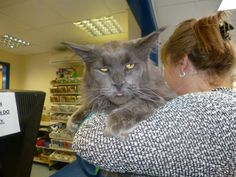 maine coon cats - Google Search http://www.mainecoonguide.com/maine-coon-personality-traits/
