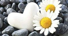 Just Pinned to Hearts: White daisy flower and heart are as pure as Innocence it could be, you see the beauty as clear as a white pure color will be. Heart In Nature, Heart Art, Beautiful Flowers, Beautiful Pictures, Sunflowers And Daisies, Wildflowers, Daisy Flowers, Daisy Love, I Love Heart