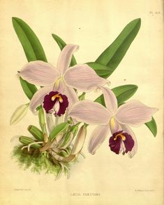 Laelia praestans. Orchid album :comprising coloured figures and descriptions of new, rare and beautiful orchidaceous plants 1893 London :B. S. Williams,1882-97. Biodiversitylibrary. Biodivlibrary. BHL. Biodiversity Heritage Library