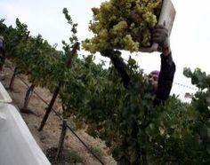 Wine Basics: How Wine is Made