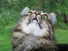 Free Image on Pixabay - Cat, Maine Coon Cat, Feline, Kitten Maine Coon Kittens, Catus, Cat Supplies, Domestic Cat, Cat Day, Free Pictures, Mammals, Cat Lovers, Gallery
