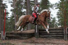 Finnhorse Friisin Paletti – Kortelainen Tanja, © Camilla Sipponen. Winter Horse, Horse Breeds, Donkeys, Horse Riding, Beautiful Horses, Camilla, Finland, Norway, Lost