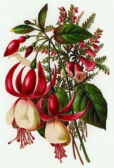 decoupage botanical : Fuschia with another pink flower. Fuschia was a flower once found on many shady Victorian porches. Art Vintage, Vintage Botanical Prints, Botanical Drawings, Illustration Blume, Illustration Botanique, Victorian Flowers, Vintage Flowers, Botanical Flowers, Botanical Art