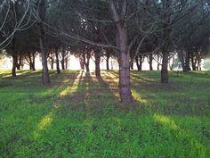 Light through pinetrees