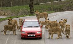 Knowsley Safari Park - Lions and tigers and bears, OH MY! Great day out