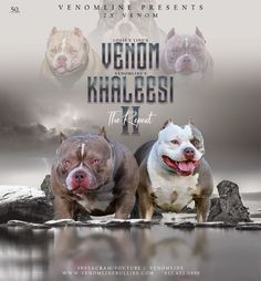 Pocket American Bully Puppies for Sale | Top American Bully Breeders Pocket Bully, V Lines, Social Media Site, Wow Products, Puppies For Sale, Bullying, Pitbulls, This Or That Questions, American Bullies