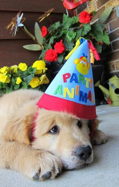 Happy Birthday Finn Golden Goldenretriever Dog