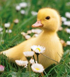 Cute Duckling waddling through the daisy field.