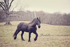 FRIESIAN. I likely won't ever own one of these, but they remain my favorite breed!