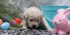 girl 3 weeks English Lab Puppies, 3 Weeks, Labrador Retriever, Dogs, Animals, Labrador Retrievers, Animales, Animaux, Doggies