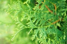 A Comparison of Spartan Juniper & Emerald Green Arborvitae | Hunker