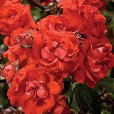 Orange   Star Roses & Plants