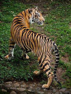 """Tiger: """"S-Curve!"""" (Photo By: Syahrul Ramadan. Beautiful Cats, Animals Beautiful, Wild Cat Species, Animals And Pets, Cute Animals, Save The Tiger, Tiger Pictures, Gato Grande, Big Cats Art"""